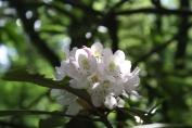 Cherry Blossom - Lebanon OH