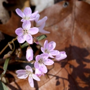 Wood Sorrel - Miami Whitewater