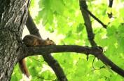 Rusty Squirrel