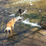 montgomery-bell-dogs-in-creek.jpg.jpeg